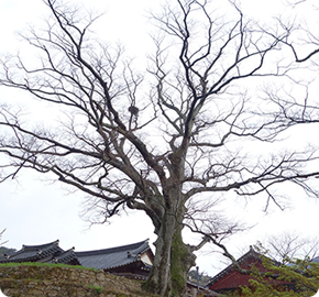 Zelkovas with interconnected roots at Daeheungsa (protected trees)