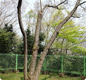 Native habitat of the flowing cheery trees (Natural Monument No. 173