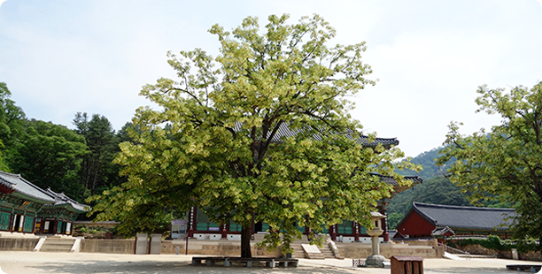 Manchuria linden in front of Daeungbojeon Hall