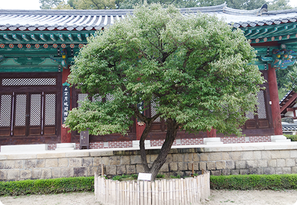 The plum tree in front of Yeonggak (The Tree of Knowledge)